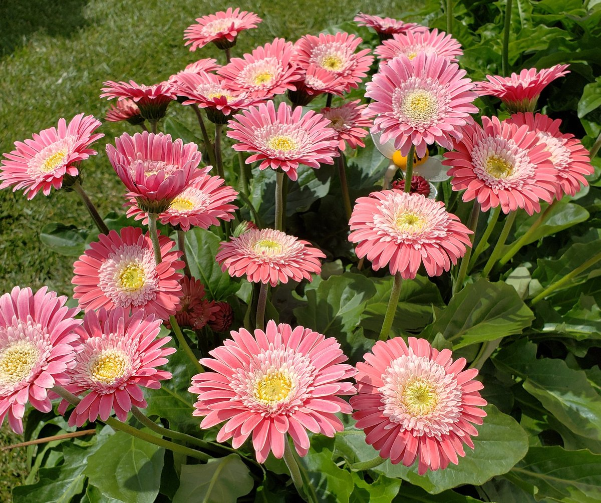 Gardenopus on twitter glad you like them many gerbera series look gardenopus on twitter glad you like them many gerbera series look good at retail but are weak plants in the home garden with only a few flowers at a izmirmasajfo