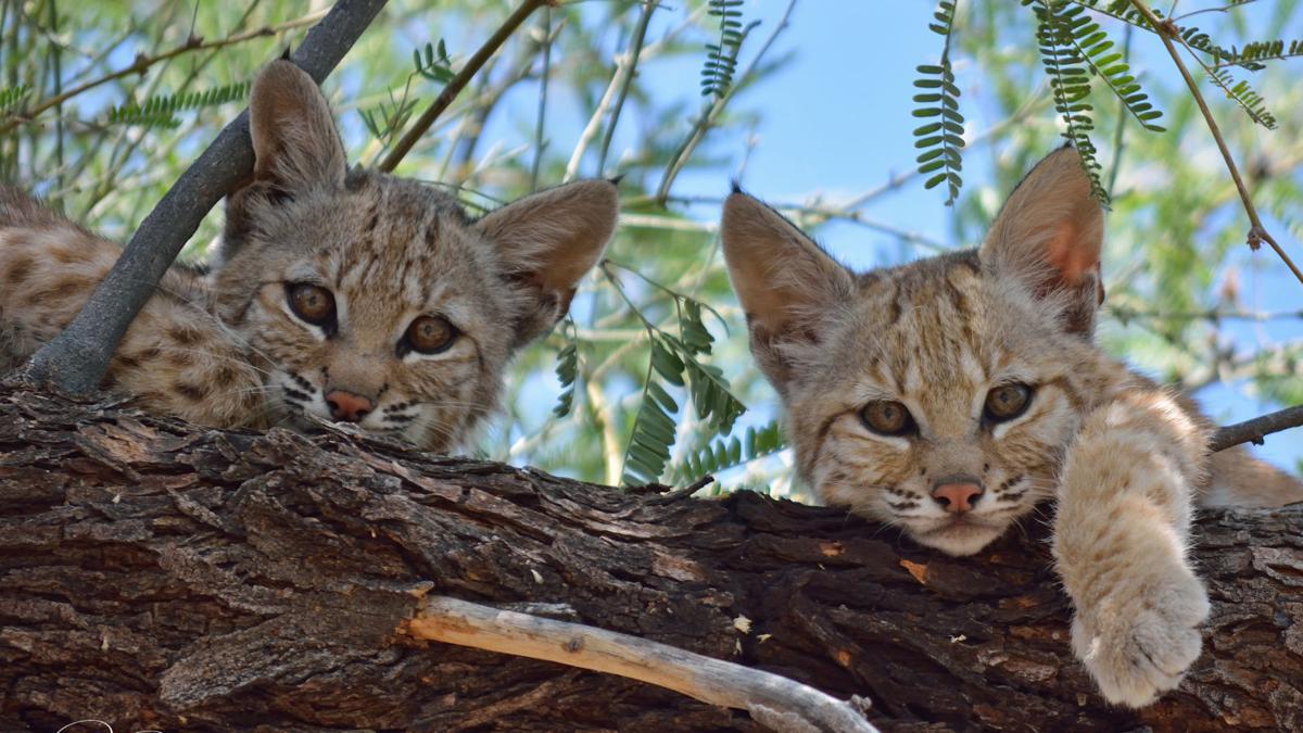 Roaming through Southern Arizona: Photos of backyard bobcats https://t.co/kBFxRMWWS6
