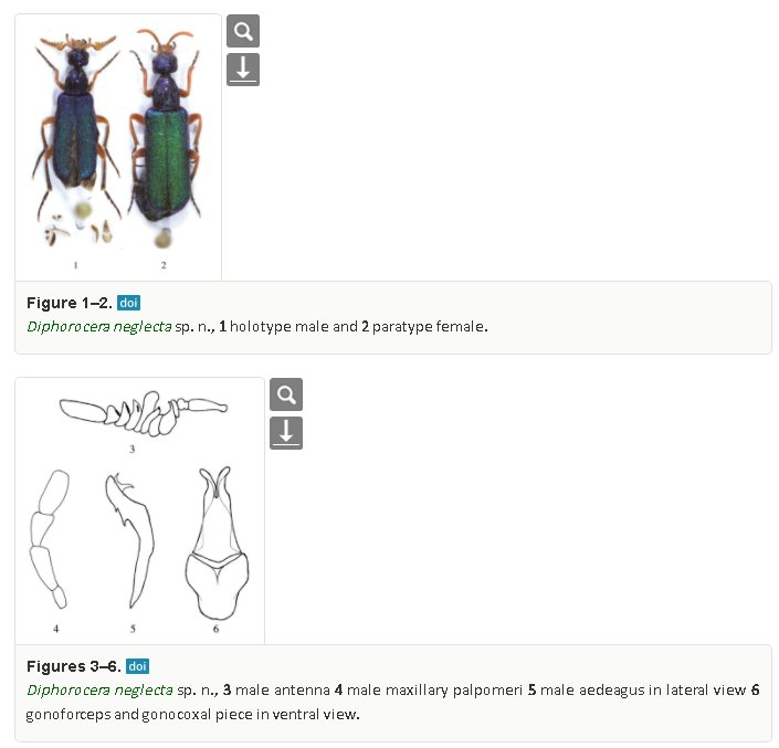 The coleopterists society on twitter literaturenotice ern and a new species of diaphorocera from morocco with unclear relationships and a key to the species coleoptera meloidae cerocomini ccuart Image collections
