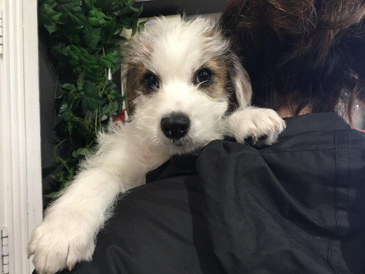 Dspca On Twitter Hello Im Rasher A 10 Week Old Shihtzu Lurcher