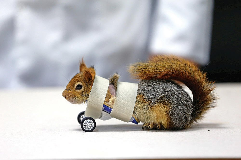 'Karamel' the squirrel gets prosthetics  https://t.co/sTP3zaRi20