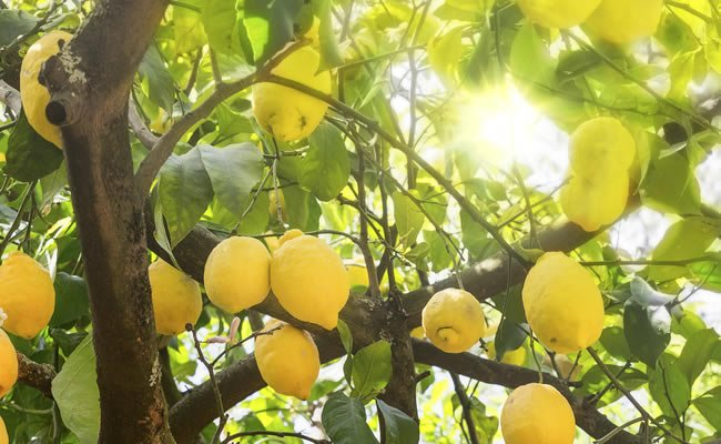 Franck marc o franco aleman twitter for Albero limoni in vaso