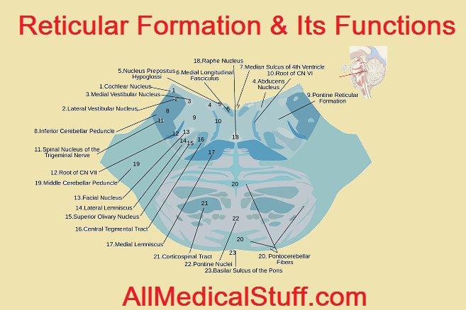 Reticular Formation Akbaeenw