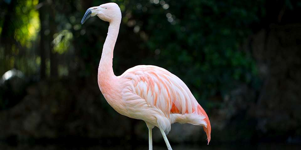 Adelaide Zoou0027s Flamingo Chile Has Died. Aged In Her 60s, She Had To Be Put  Down Due To Her Age And Problems Arising From Arthritis.