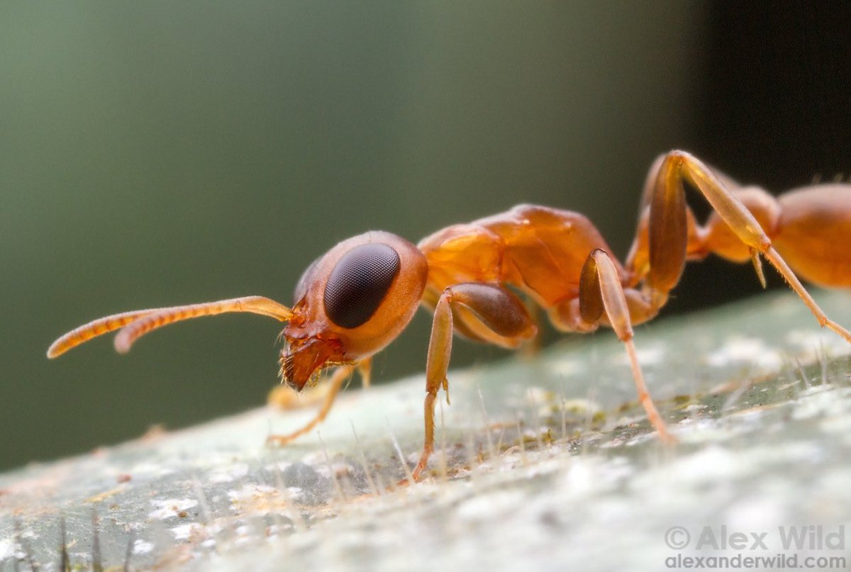 The always-charming Pseudomyrmex boopis. Belize.