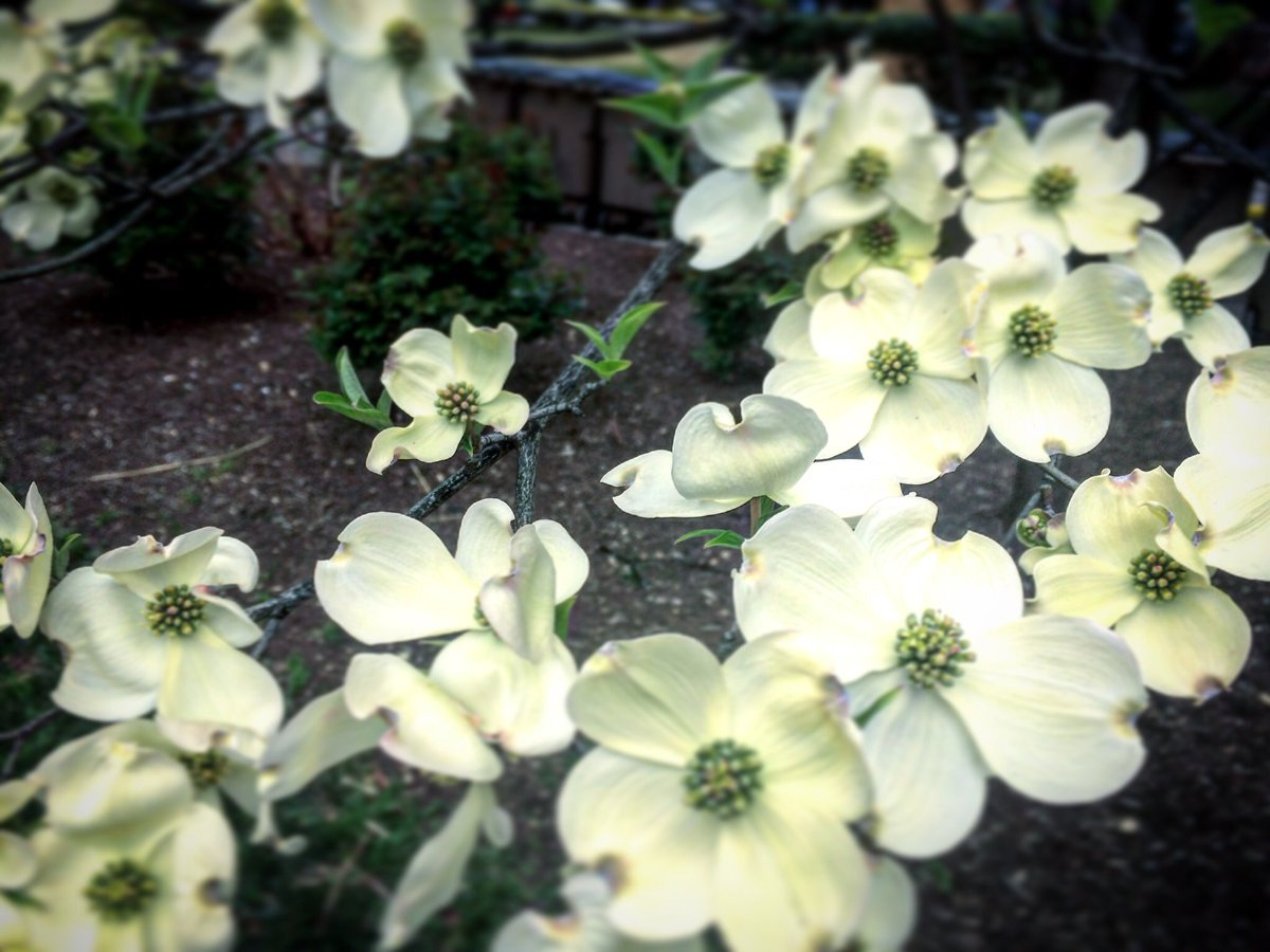 Famous Bouquet Of Dogwood Flowers Gallery - Wedding and flowers ...