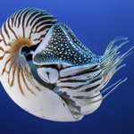 Image for the Tweet beginning: Doomed by their beauty, nautiluses