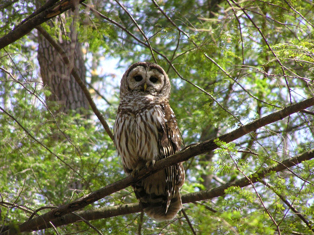 Image of: Diurnal The Barred Owl Is One Of Many Of These Amazing Species Keep Your Ears Clean As You Listen For The Famous Phrase who Cooks For You Twitter Greatsmokynps On Twitter