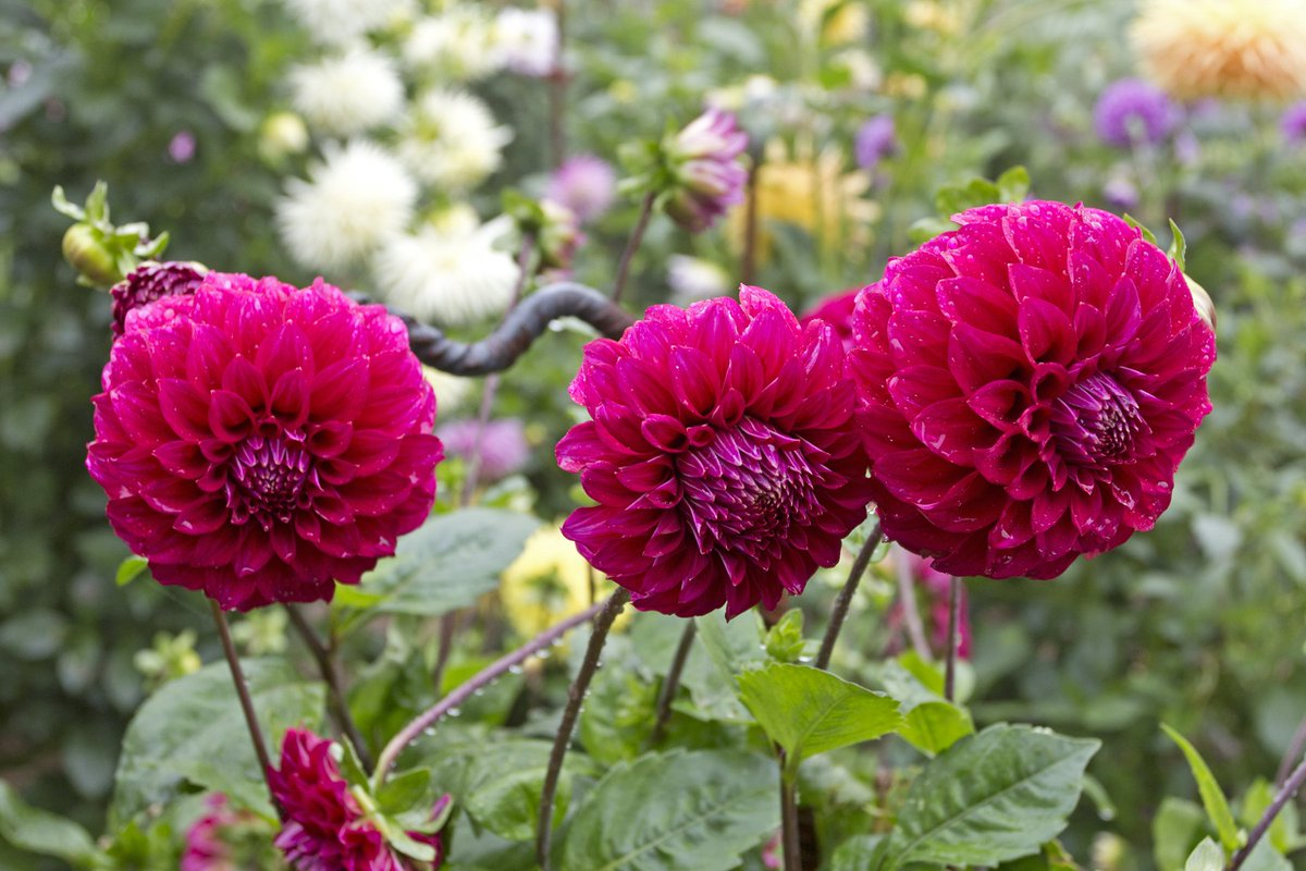 Dahlias hashtag on twitter have you seen the stunning dahlias at bluemtnsbg let us know your favourite colour bloom learn more about this gorgeous flower via our blog izmirmasajfo