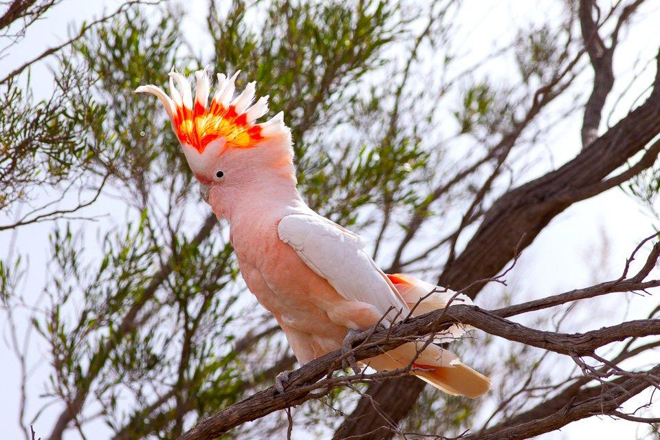 Cockatoo And Cockatiel