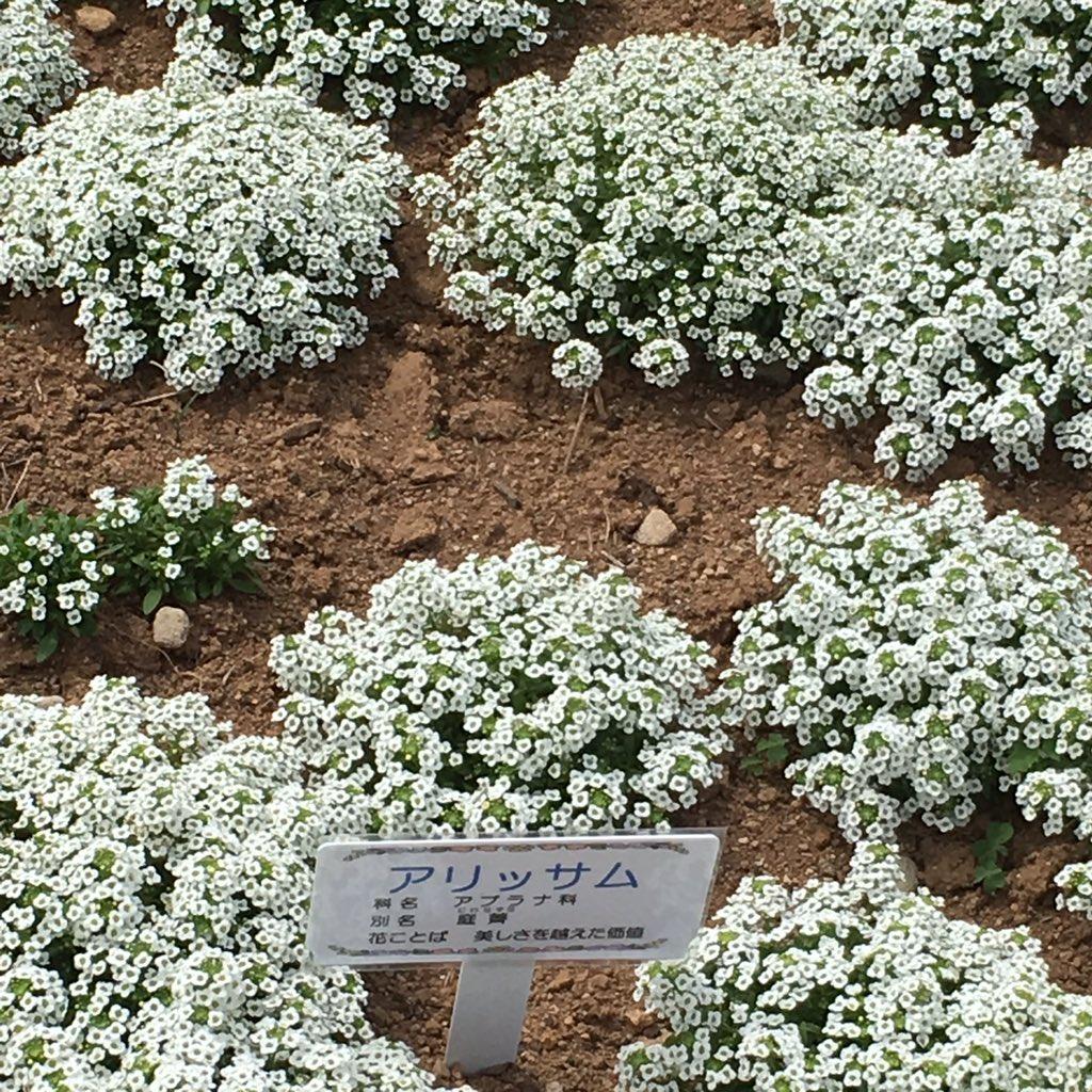 おはようございます  今朝の花も 出水郡長島の 花フェスタより アリッサム よく寄せ植えの 縁を彩りますネ しかし こんなに群生に 植えてあれば 圧巻… そして花は脇役でも 花フェスタでは 主役のような? 私はまたこの花にも 魅せられました  #花 #アリッサム  #出水郡長島  #花フェスタ  #こみたん