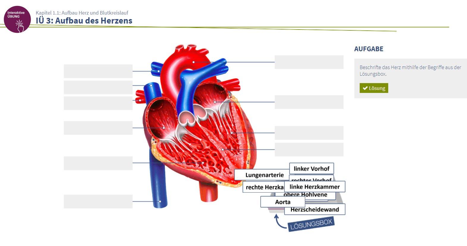 Atemberaubend übung 30 Anatomie Des Herzens Fotos - Anatomie Von ...