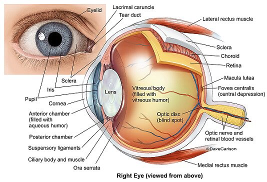 Biomedical Science On Twitter Anatomy Of Your Eye Take A Moment