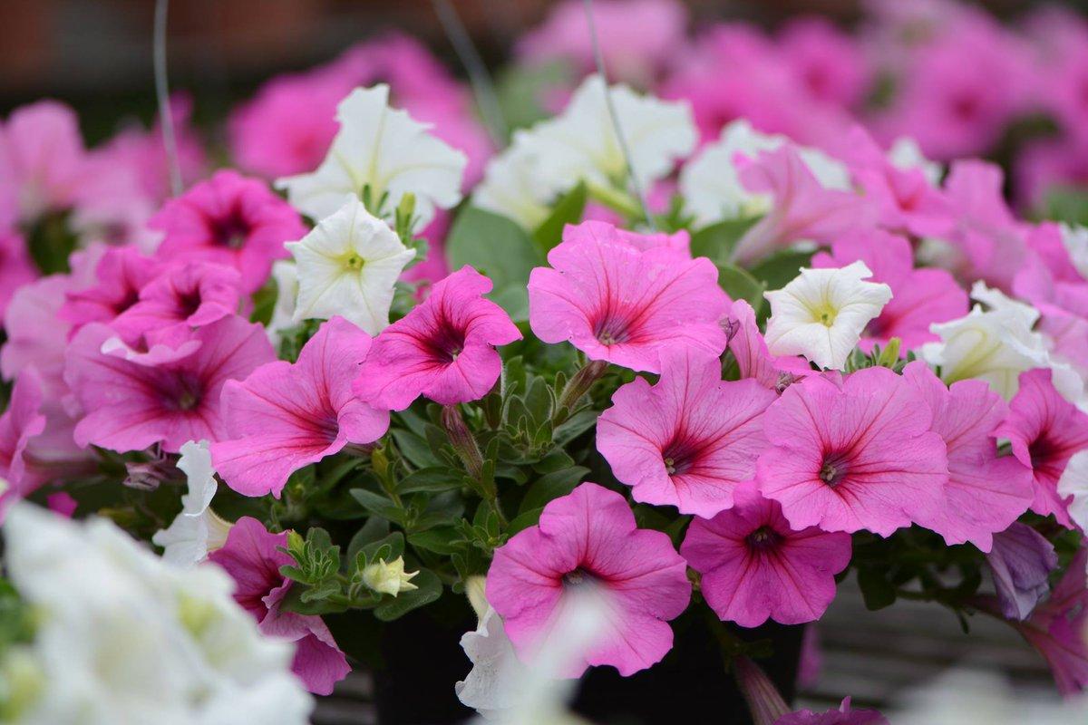 Aga Agro On Twitter Happy Songkran Festival Everyone Flower Name