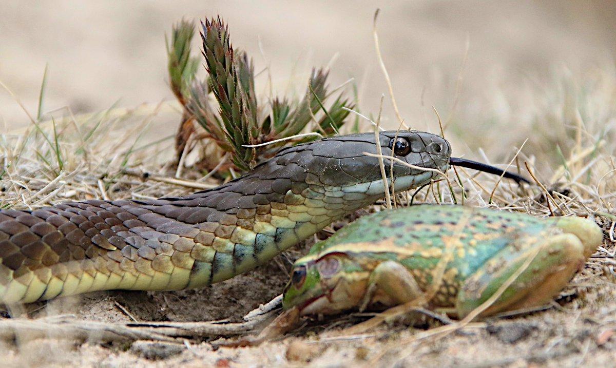 Image result for 26 days snake