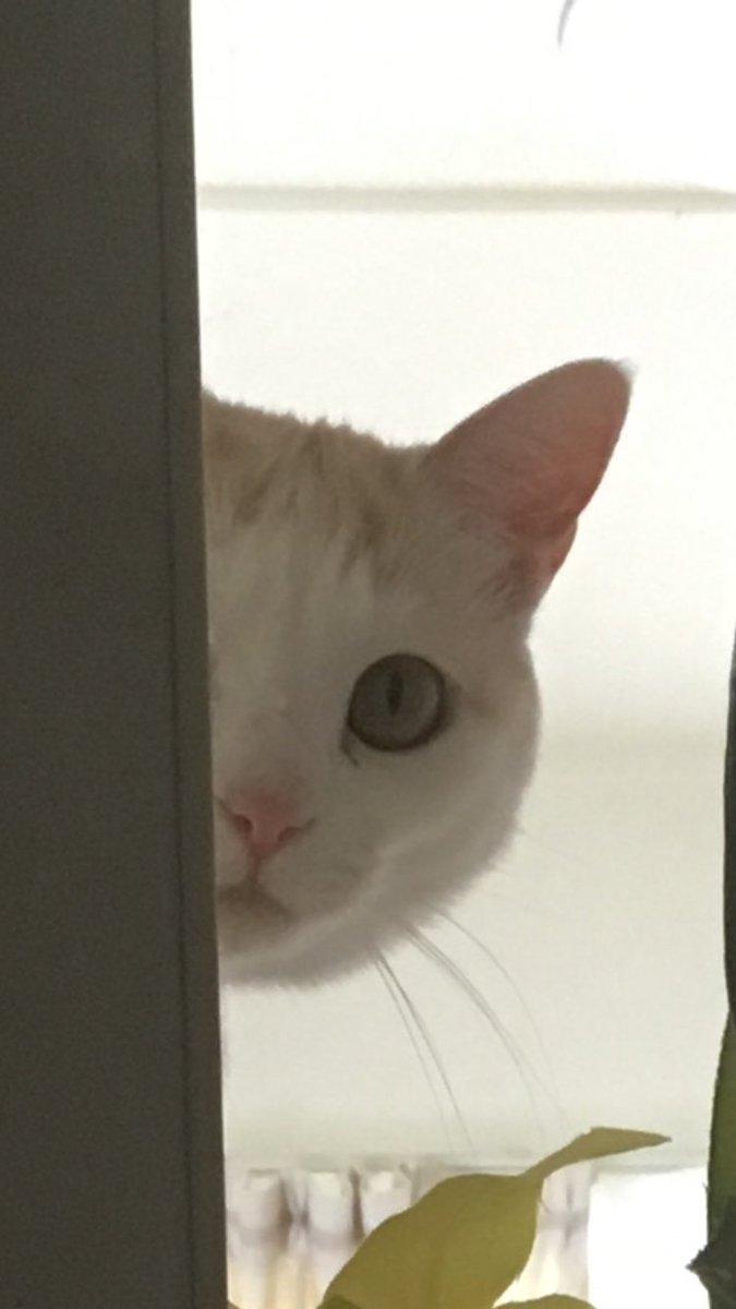 貼り付けたみたいになってる、、!  #猫 #大吟醸 #コピペ