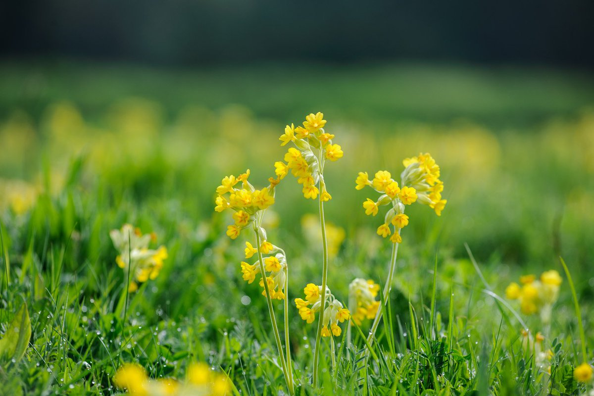 As we've got no actual sunshine we thought these glorious sun-shiny yellow cowslips in our wild meadow would brighten up the day.  Happy Friday!