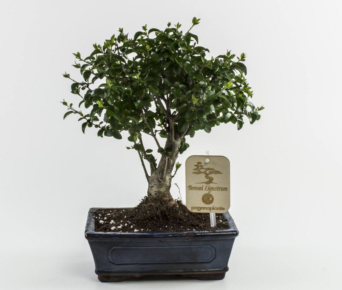 Se in questi mesi hai portato i #bonsai all'interno, ora, con l'inizio della #primavera, puoi collocare i tuoi piccoli #alberi all'esterno, in modo che essi possano ricevere la giusta quantità di #sole. https://t.co/NIwLvUEngk https://t.co/SStpLEygY0