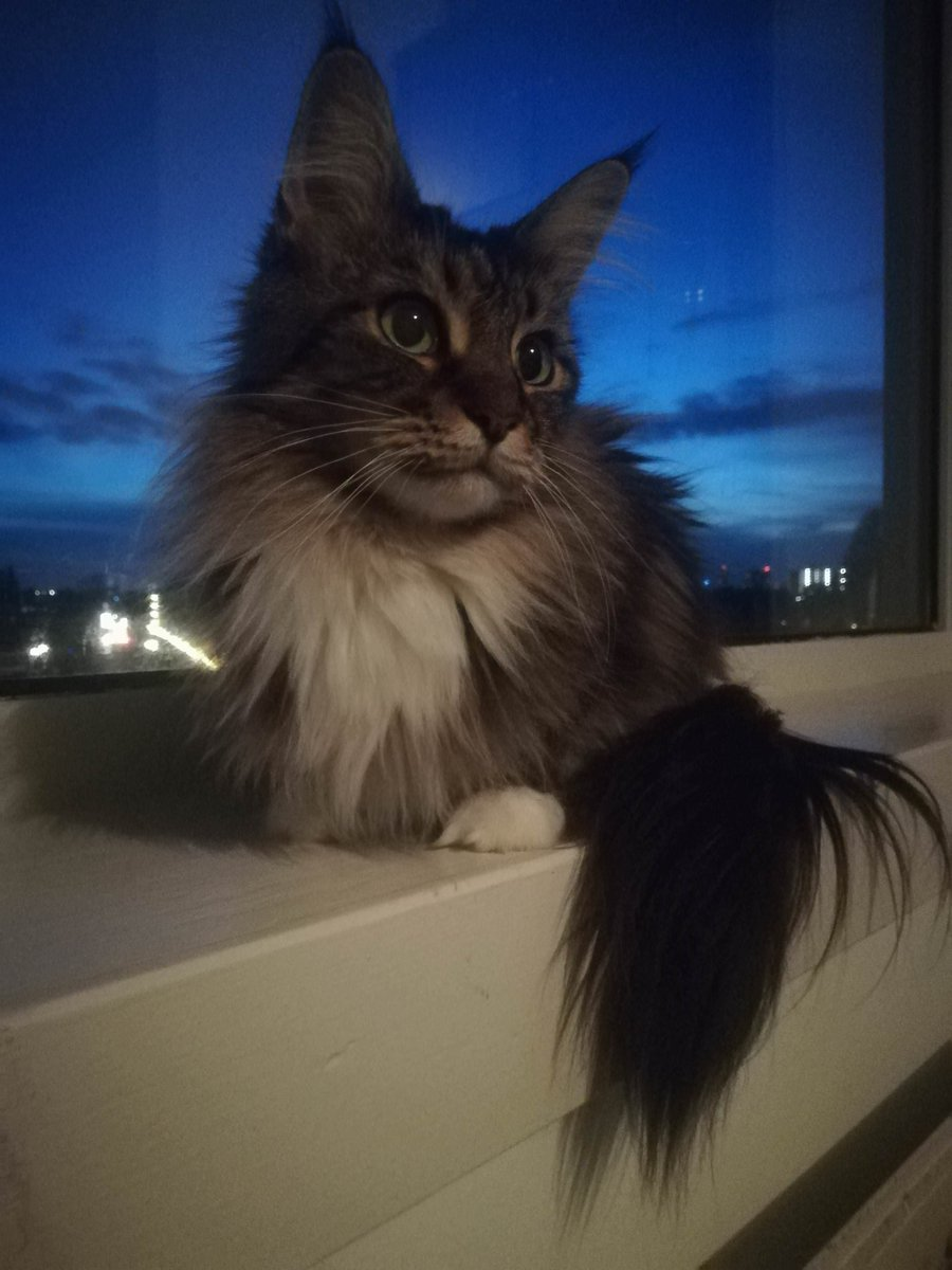Luv Kittens Daily On Twitter Long Haired Cutie