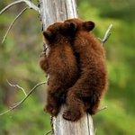いやかわいすぎだろw木登り上手な子熊が見ていてかわいすぎるw