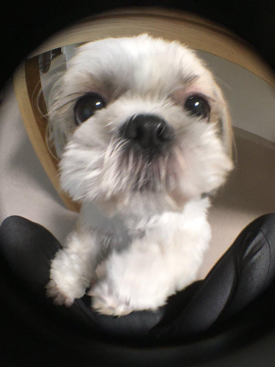 test ツイッターメディア - 鼻でかちとせ。  #犬 #dog #シーズー #Shihtzu #doglove #犬好きな人と繋がりたい #犬好きさんと繋がりたい #魚眼レンズ #キャンドゥ #鼻でか犬 https://t.co/lBfHMba6CH