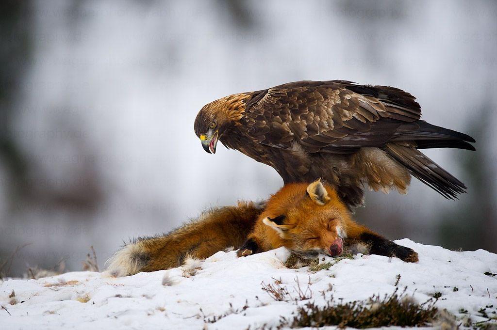 когда открывающаяся картинки орла с добычей бруствер окопа