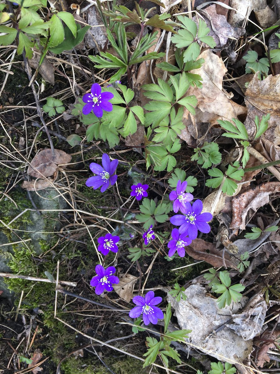 Amb Anna Brandt On Twitter My Favourate Wild Spring Flowers On
