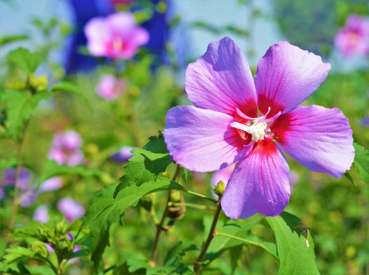 Hatmi Çiçeğinin Zararları