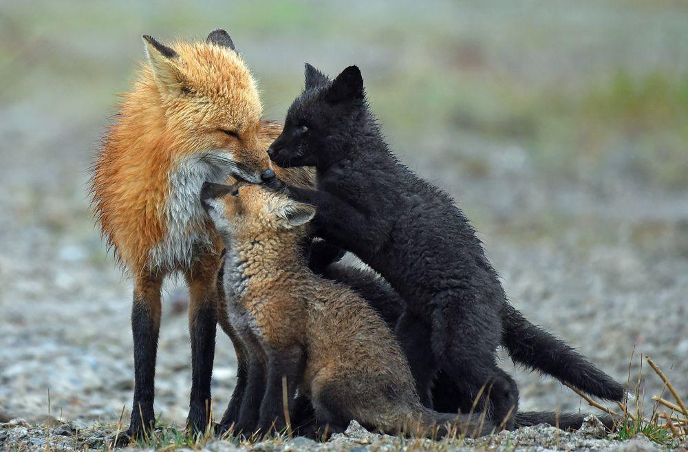 красавица картинки лисы с лисятами от волка нечто