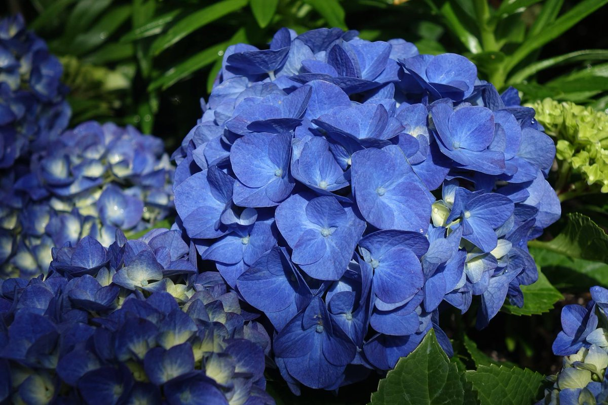 Royal Botanical Gardens On Twitter Dyk Hydrangeas Flower Color