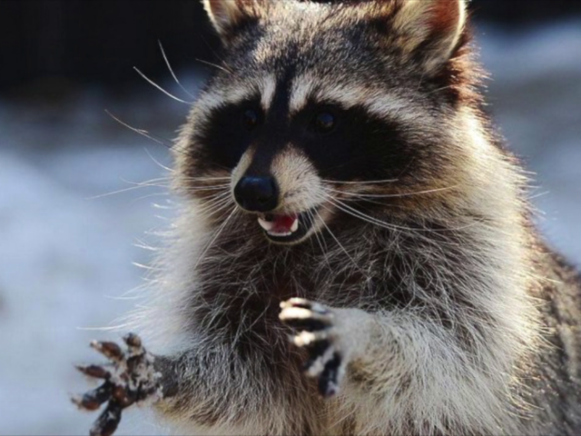 Pet raccoon, stoned off of too much weed, brought to Indianapolis firehouse. Confusion ensues.  https://t.co/cRP3unSXZh
