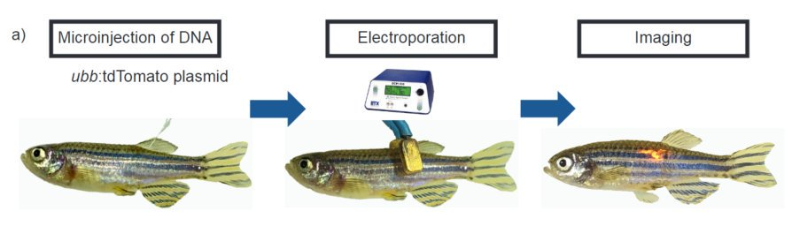 Modeling #melanoma directly in adult #zebrafish, but without the embryo stages - try Transgene Electroporation in Adult Zebrafish (TEAZ)!  Great work by @whitefishlab, thx for having us on board @aburger2009 @hlindsaych #collaborate #zdms #Cancer #CRISPR  http:// dlvr.it/QNyBs4  &nbsp;  <br>http://pic.twitter.com/yxSnWZowad