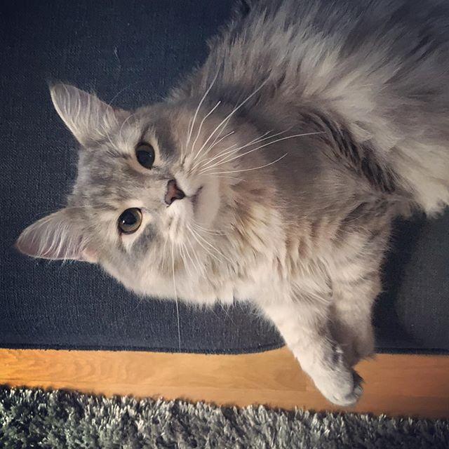 What's up sweety ?  #Pikachu #Amour #Napoleon #siberiancat #siberian #cat #cats #kitty #kitten #cute #catstagram #catsofinstagram #kawaii #neko #chat #chats #chaton #mignon   »   http:// zpr.io/nDELD  &nbsp;  <br>http://pic.twitter.com/bky9qjuHzk