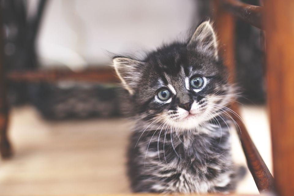 Blue icy eyes like the sky ❤️ #CATSYS18 #Caturday #catfishinganimals #cats #kitten #kittens #KittenOftwitter #love #EyesOnYou #springst #springequinox #AdoptaNoCompres #ADOPTA #adoptdontshop #veganfood #veganism #veganlife #animal #AnimalCrossing #animals