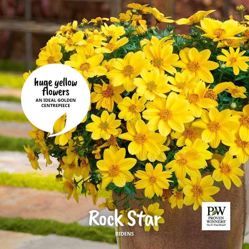 Proven winners uk on twitter rockstar is characterised by huge its lush bright green foliage provides the perfect backdrop to show off its yellow flowers this summer plant loves sunshine and makes an ideal golden mightylinksfo