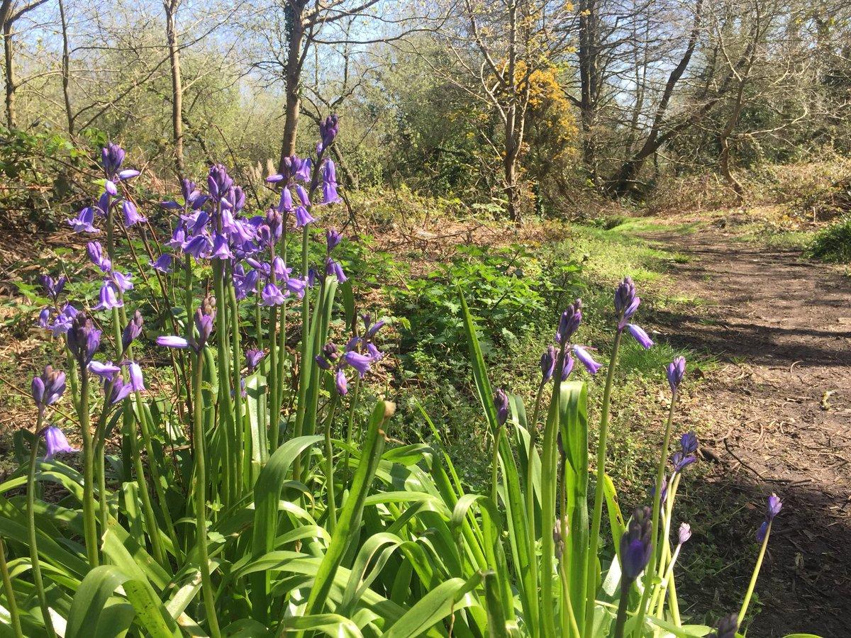 #springishere #bluebells #mudefordwoods #Christchurch #Dorset We're feeling springlike here at #DNS @BBCWthrWatchers<br>http://pic.twitter.com/TKdUStntTM