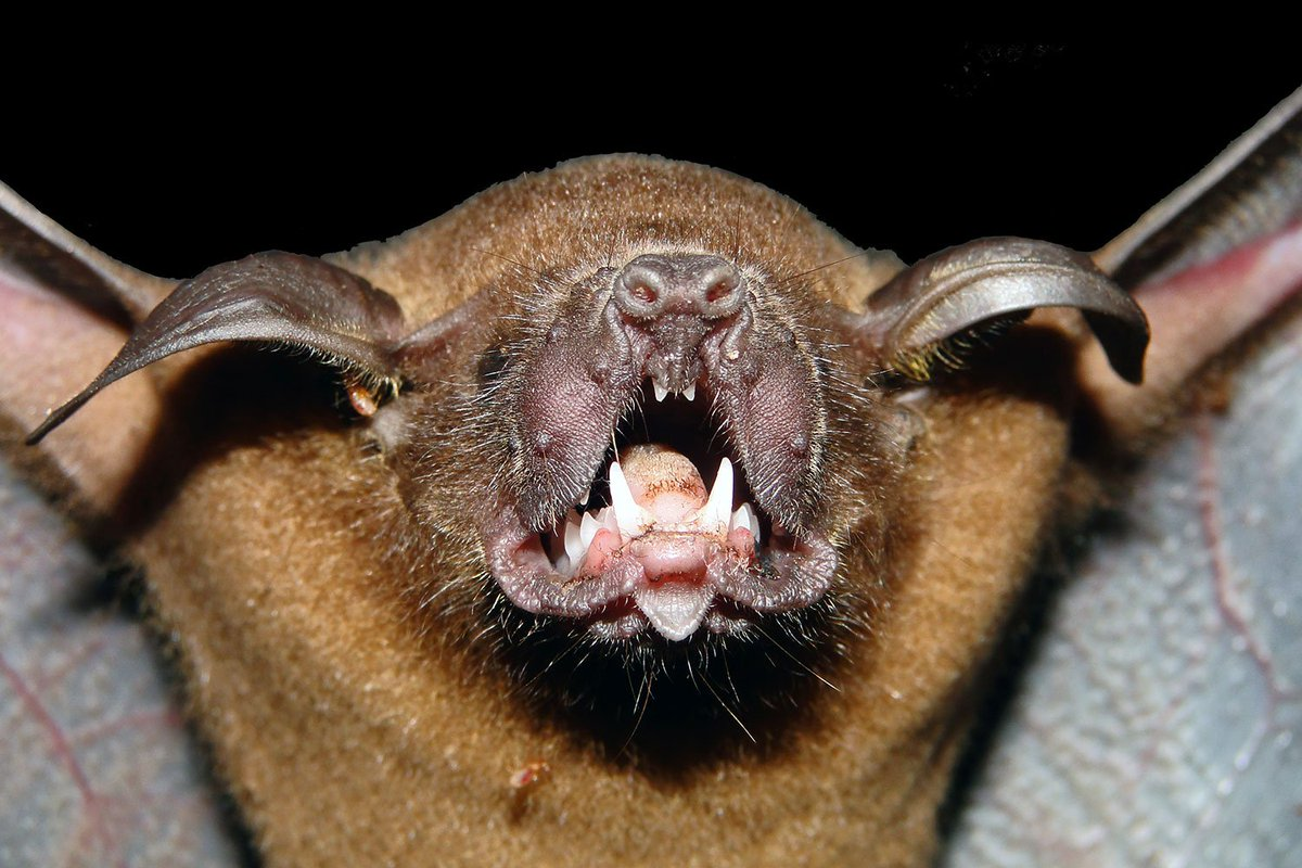 "Víctor Romero on Twitter: ""A close up of the Lesser Bulldog Bat in ..."