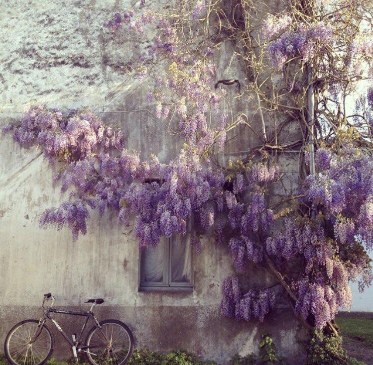 藤を見るとやはりあの田舎町の藤を思い出し本当に美しく見事だったと思う。(藤について聞くと少しずつ開花してるそう)