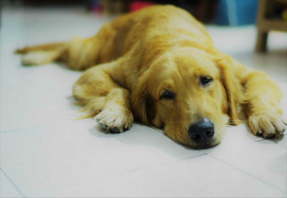 Feeling lazy today #DookDik #goldenretri...