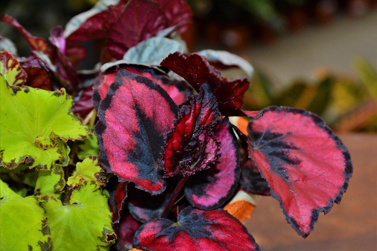 бегония с красными листьями фото и названия единоросы проверят качество