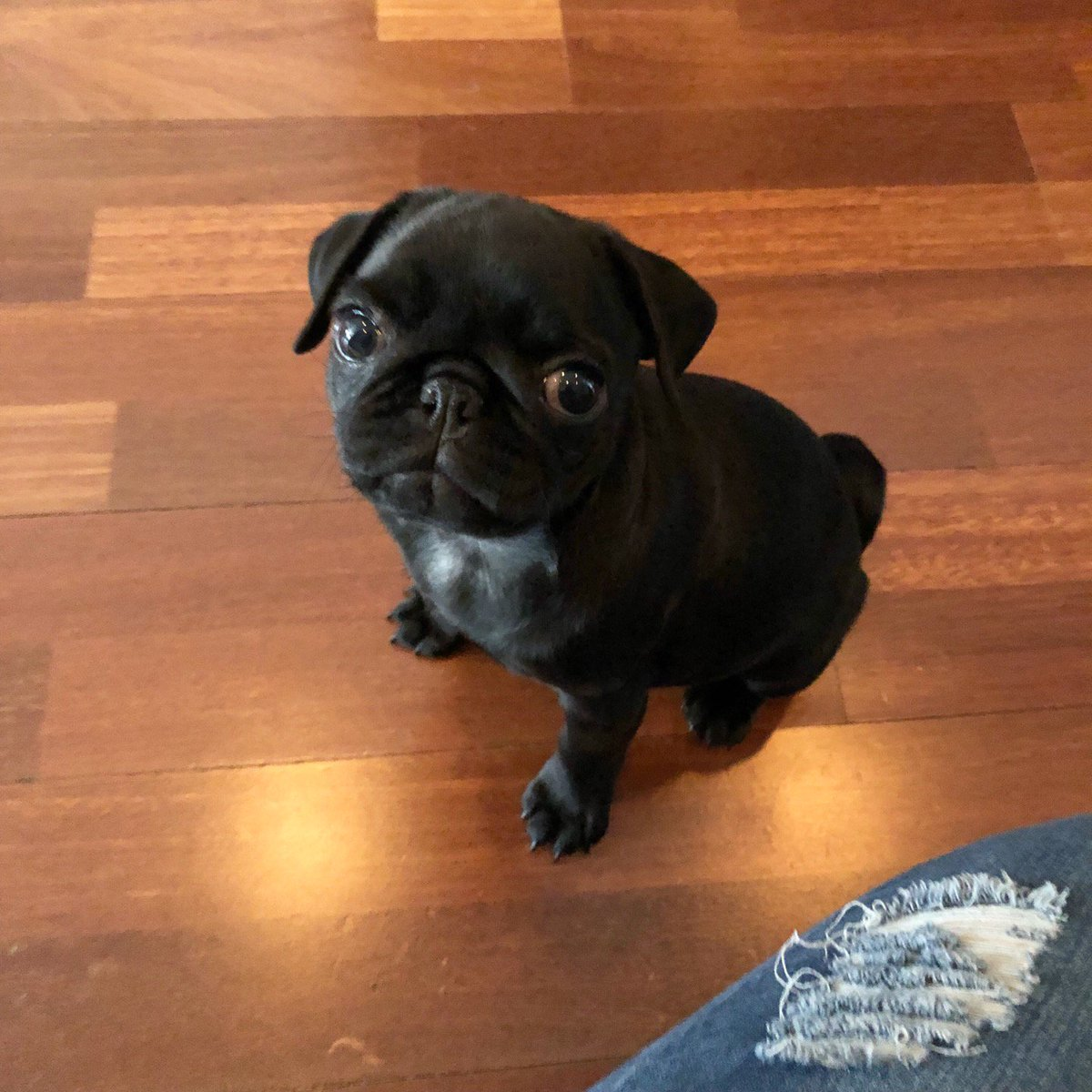 Luisa On Twitter My Newest Doggyclient Is Lola The Pug Puppy