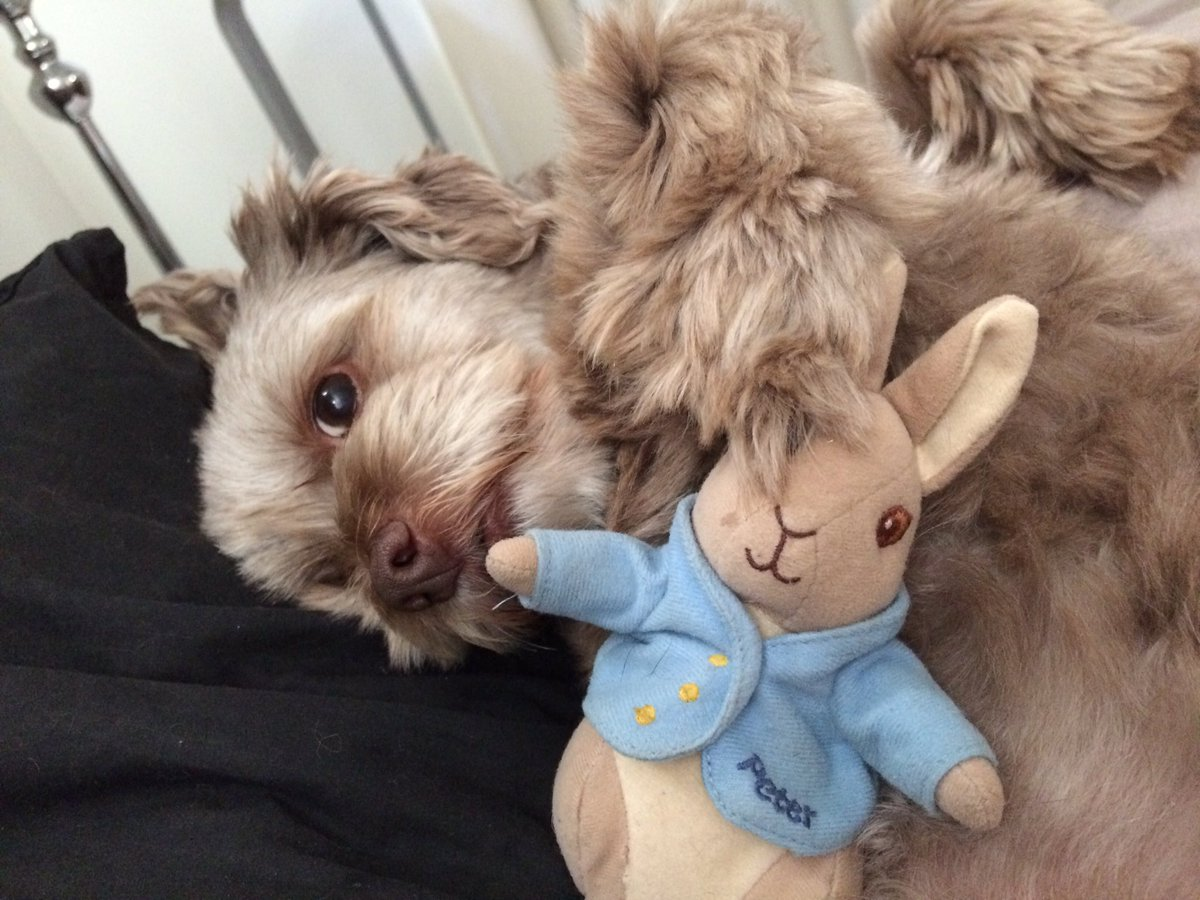 Coco loves her Peter Rabbit 💙🐇🐰#dogsoftw...