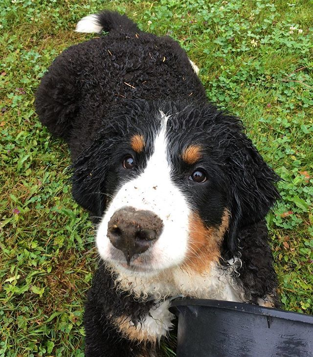 What do you mean I look dirty? 😇 I've never been a naughty pup (😈) #tbt to the puppy and bucket times! . . #tbt🔙 #throwbackthursday #throwback #notnaughty #ofcoursenot  #bernersennenhund #bernesemountaindoglovers #bmd #bernerlovers #bernese #bernesel… ift.tt/2vp04m4
