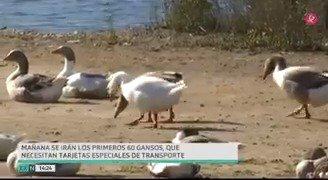 🦆🦆Los gansos del parque del río Guadiana dejarán de ser un problema para #Badajoz. A partir de mañana muchos abandonarán la orilla del Guadiana para ir a su nuevo destino: #Maguilla, #Riolobos... y particulares. #EXN https://t.co/YK7P4N1OgZ