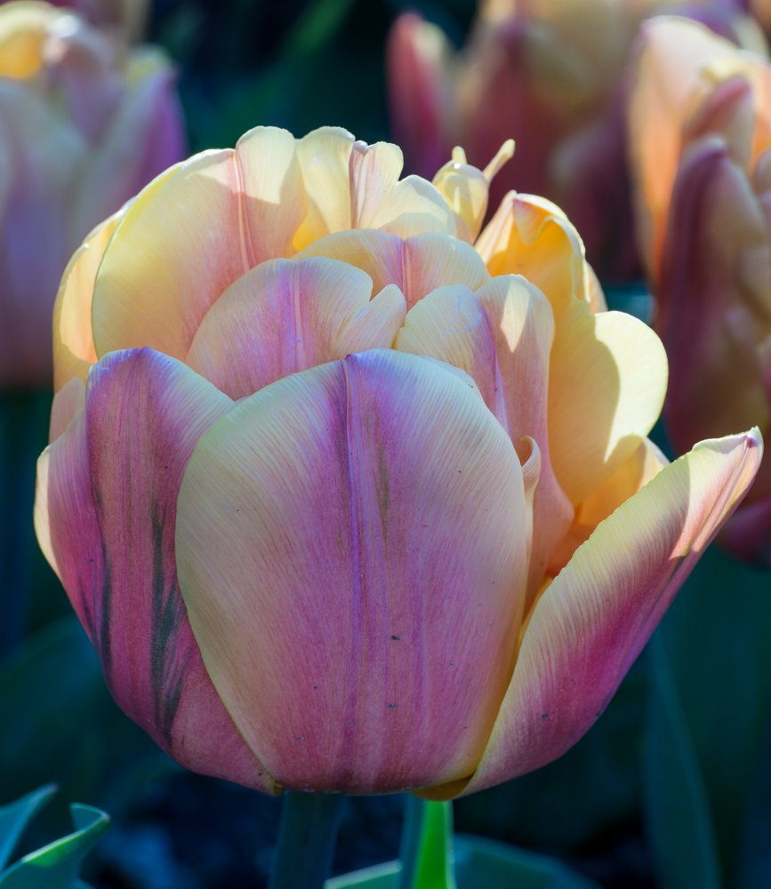 Cretaceous Tulip  #tulip #pink #yellow https://t.co/PfJnnEqOtl