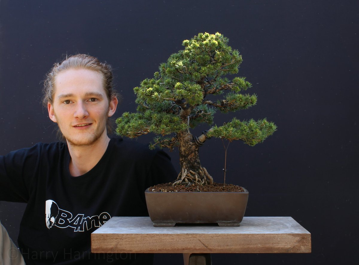 Harry Harrington On Twitter I Ve Had The Pleasure Of Maarten Maarten From The Netherlands Working With Me This Week Set The Task Of Refining This Zuisho White Pine Bonsai He S Done A