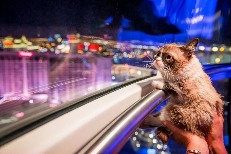 #TBT Throwback to the time @RealGrumpyCat took a spin on the @HighRollerVegas with us. 🐱💙