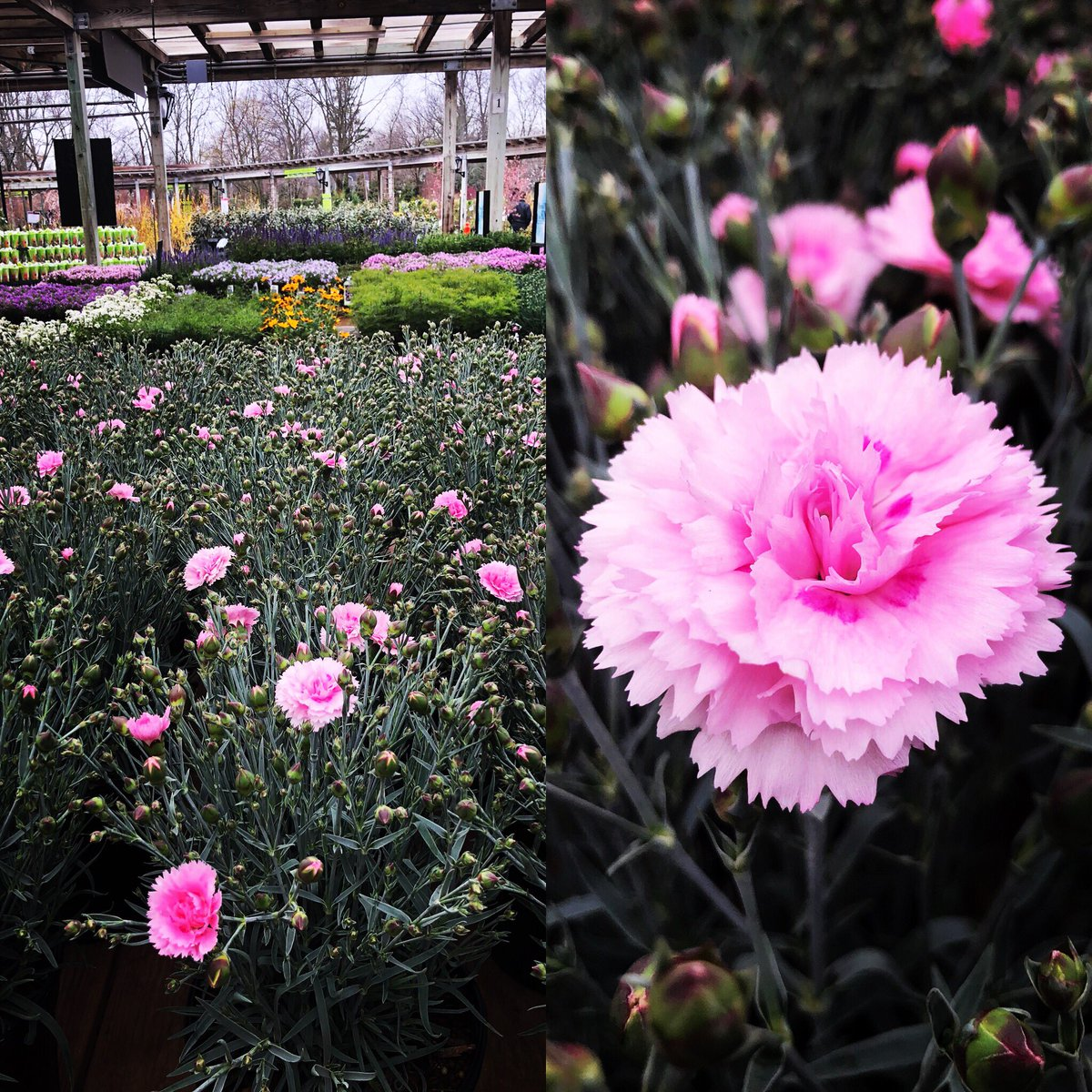 Hicks Nurseries On Twitter Dianthus Candy Floss Is A Beautiful
