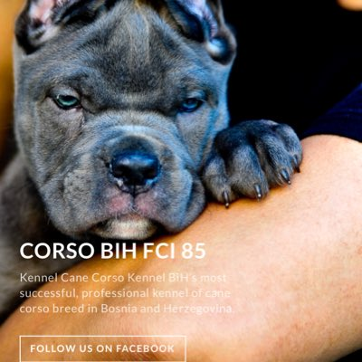 Cane Corso Kennel Bh At Canecorsobih Twitter