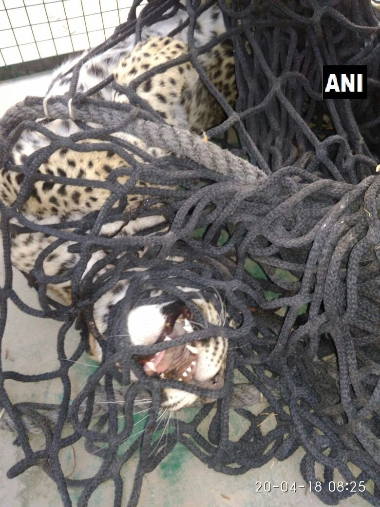 Leopard cub rescued by forest department officials from an army camp in Mount Abu. #Rajasthan